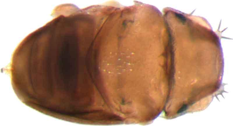 euryplatea-nanaknihali-fly