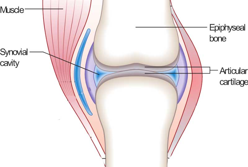 joint-cartilage