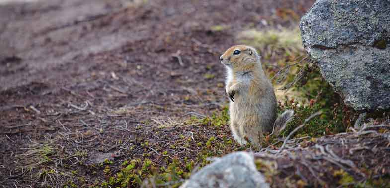 migrating-arctic-squirrel
