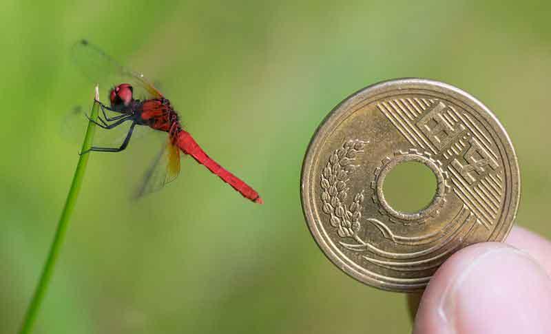 scarlet-dwarf-dragonfly