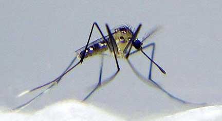 uranotaenia-lowii-mosquito