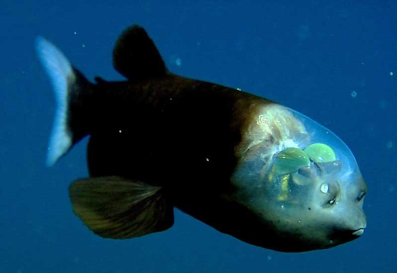 Macropinna-Microstoma-fish