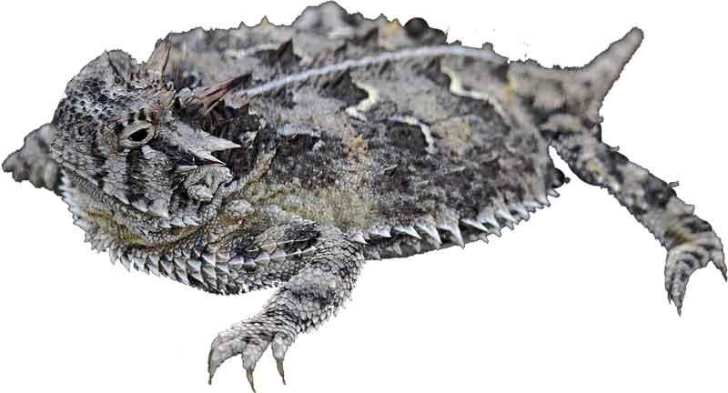 Texas-Horned-Lizard