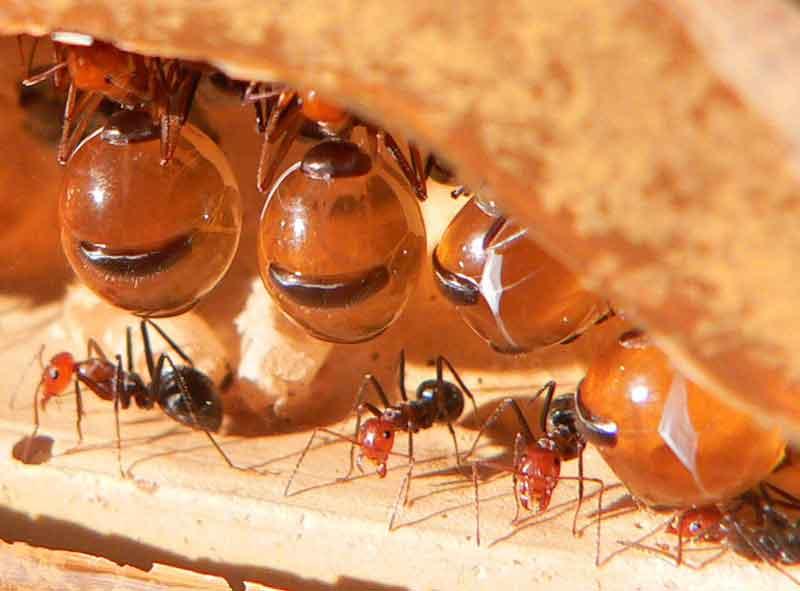 honeypot-ant