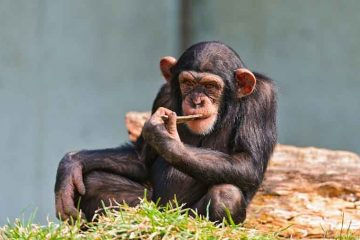 intelligent-chimpanzee