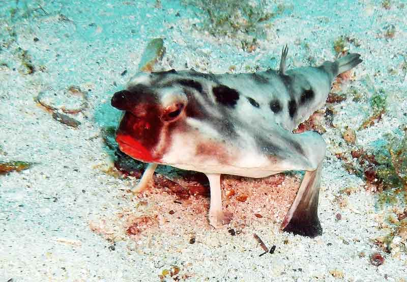 red-lipped-fish